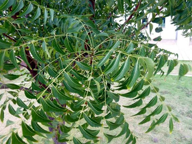 trees that grow in and all you need to know about them neem tree