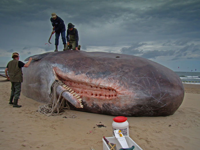 Sperm Whales Found On Germany Beaches Had Stomachs Full Of