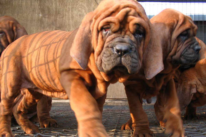 Costly Dog Breeds In India