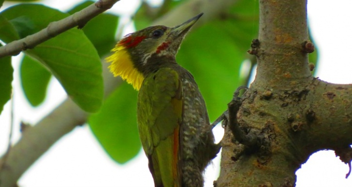 Lesser Yellow Nape Woodpecker