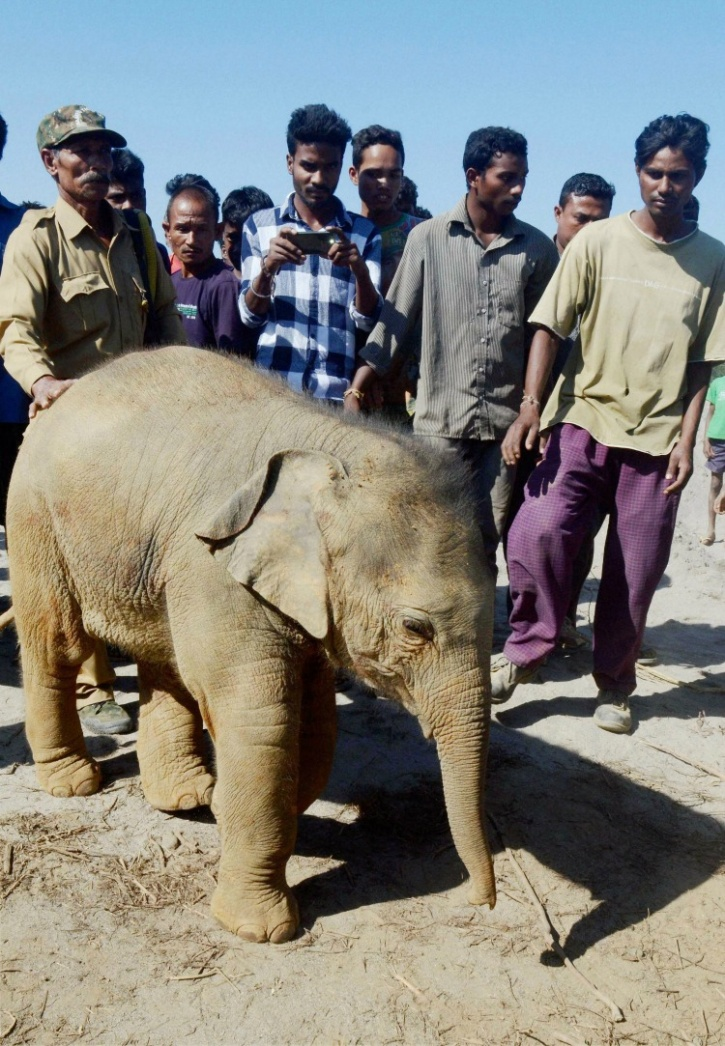Female ♀ Asian elephant (Elephas maximus) unknown at Kaziranga Center for Wildlife Rehabilitation and Conservation (CWRC)