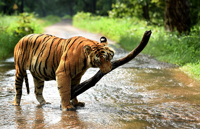 Image result for India's Tiger population has increased by 1300% since it was declared National Animal 44 years ago