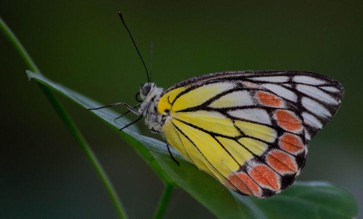 butterflies in uttarakhand capital1