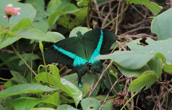 butterflies in uttarakhand capital3