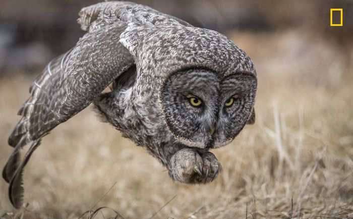 Great Gray Owl by Harry Collins