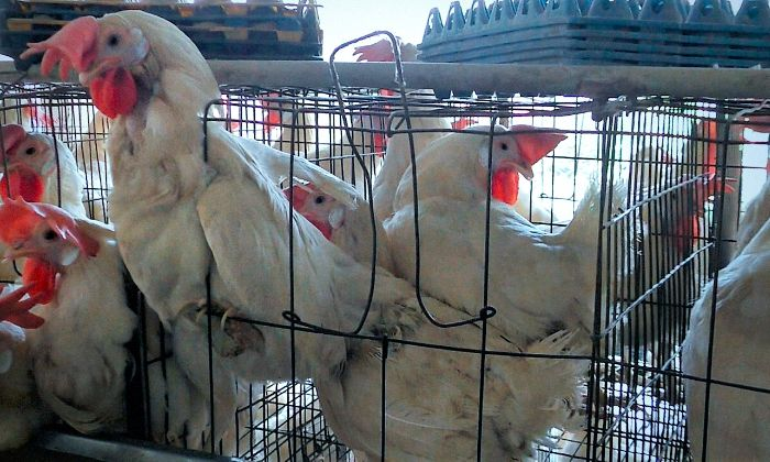 caged farm animals this is how the poultry industry is blatantly violating rules and