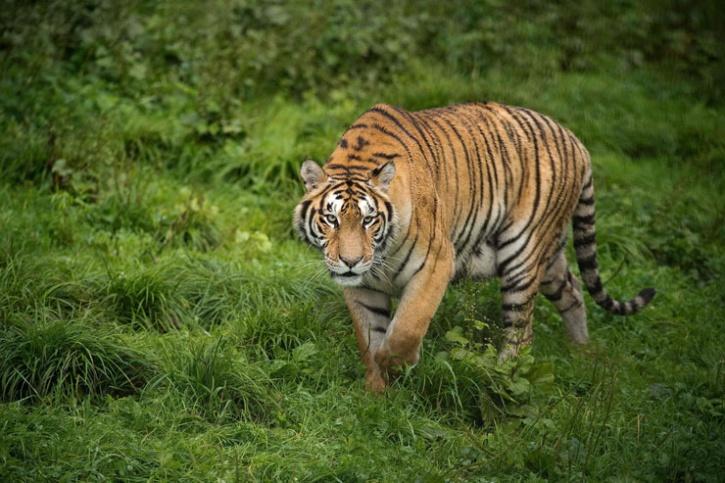 Brahmapuri Maneating Tigress