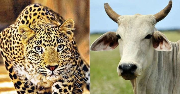 Leopard Attacked By Cow