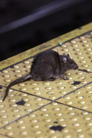 rat on train