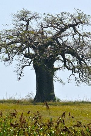 oldest african baobab trees are dying due to climate change