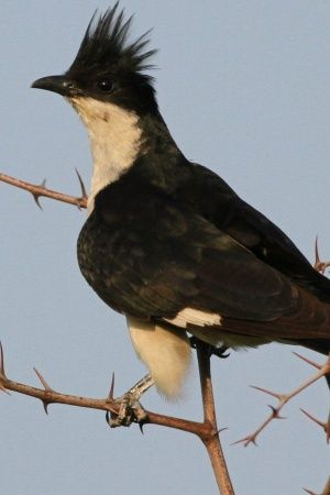 pied cuckoo heralding the beginning of monsoon in india