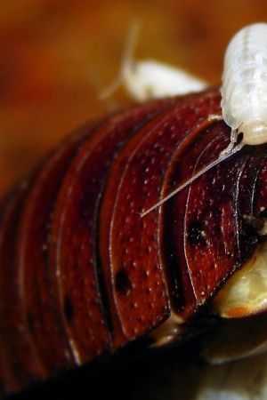 Could Cockroach Milk Be The Next Big Superfood