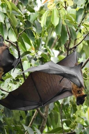 Fruit Bats Did Not Spread The Nipah Virus In Kerala