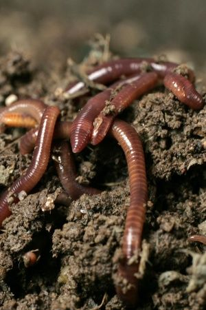 dying earthworms in kerala