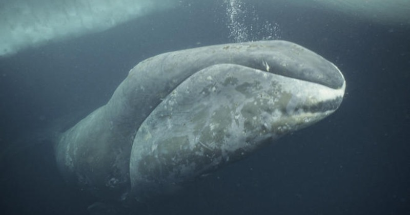 Scientists Have Found A 268-Year-Old Whale, That's Probably 25 Years Older Than USA!