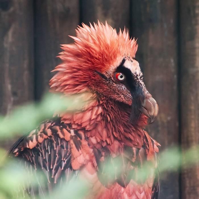 bearded vulture - photo #14
