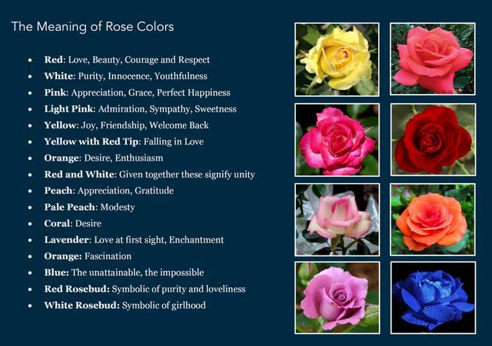 The meaning of roses indiatimes the meaning of roses mightylinksfo