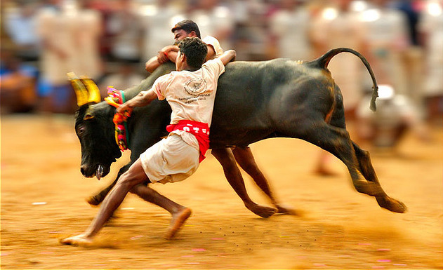 Jallikattu Ban: All You Need To Know About TN's Bull-Taming Sport And The Controversy