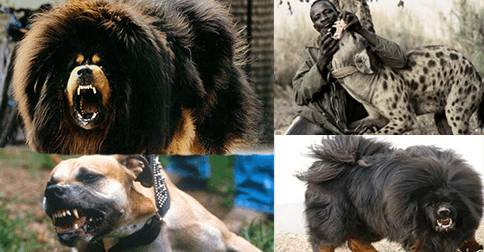 25 dangerous dog breeds most likely to turn on their