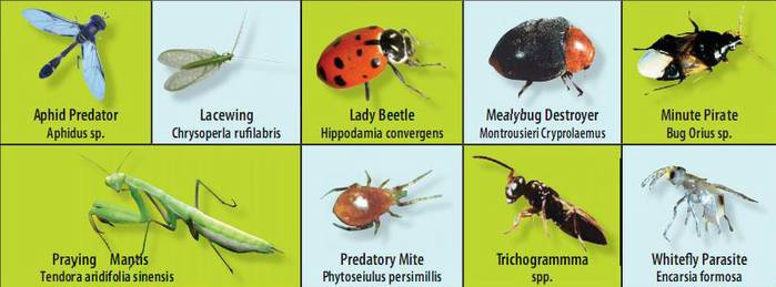 Image Result For Are Ladybugs Good For Vegetable Gardens