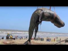 Worlds biggest dead whale fish at juhu beach mumbai indiatimes worlds biggest dead whale fish at juhu beach mumbai thecheapjerseys Choice Image