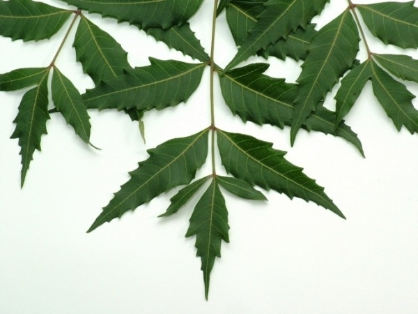 the neem tree explanation