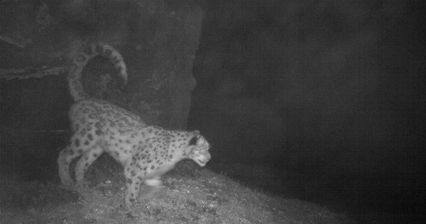 Hidden camera trap spots endangered snow leopard for the first time in sikkim - Midden kamer trap ...
