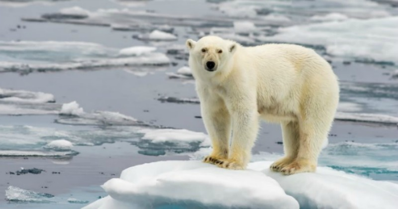 Image result for swimming ice polar bear