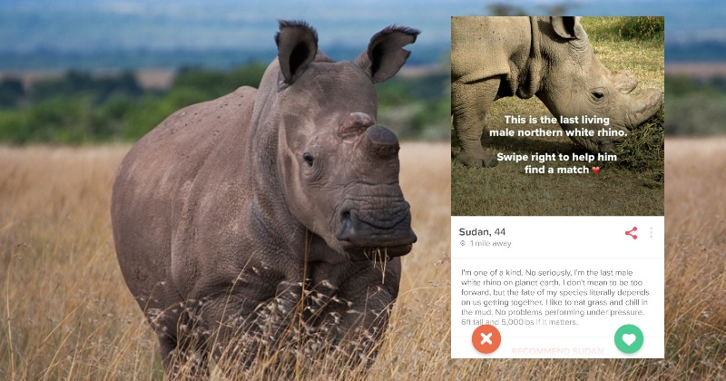 The Last Male Northern White Rhino In The World Wants You To Swipe Right On  Tinder & Save It From Extinction - Indiatimes.com