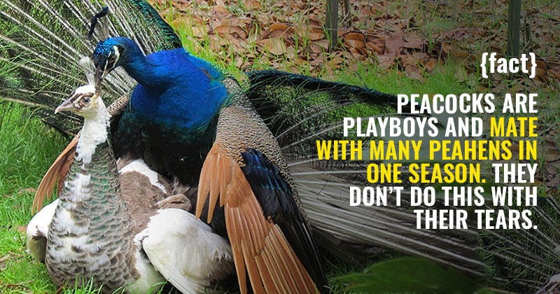 A Dummy's Guide To How Peacocks Mate, So You Don't Have To Google Anymore  {SFW} - Indiatimes.com