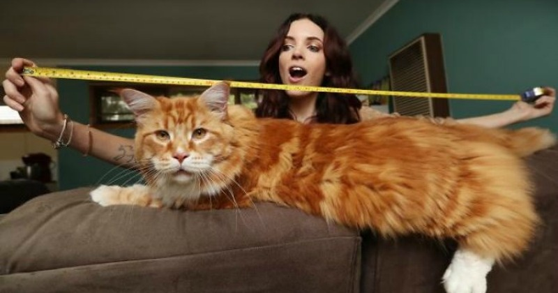 Meet Omar, Possibly The Worldu0027s Longest Cat Who Eats Raw Kangaroo Meat U0026 Is  Camera Shy!   Indiatimes.com
