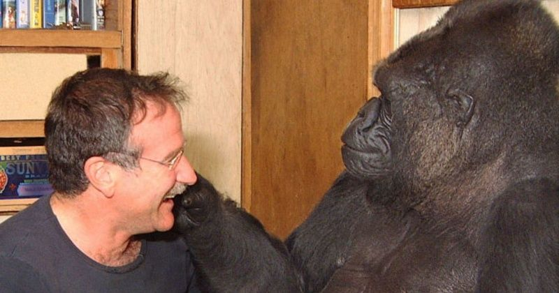famous gorilla koko who knew sign language and met robin