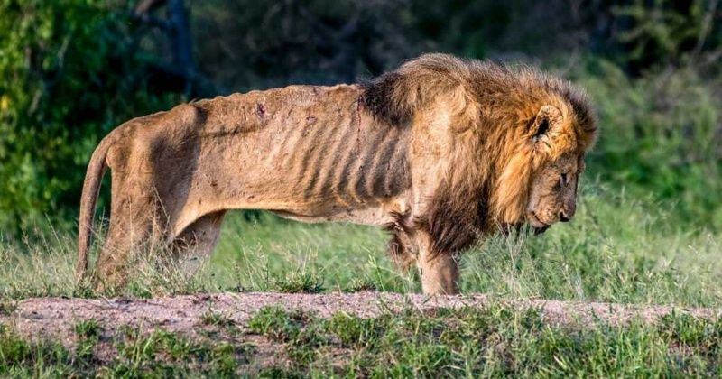 Heartbreaking Images Show A Starving Lion In His Final ...