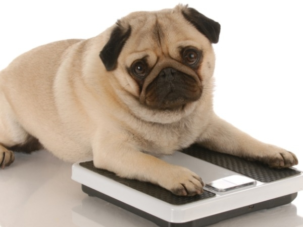 How do you know if your dog is overweight?