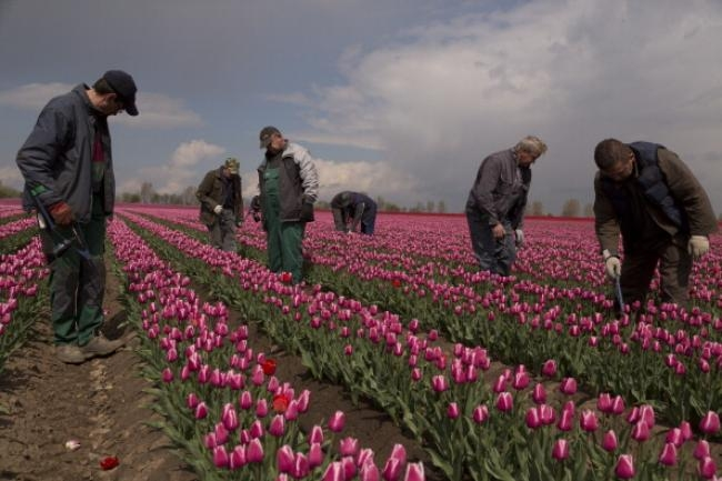 After the coldest Easter in 50 years, delicate tulips flourish and bloom in parts of Germany.