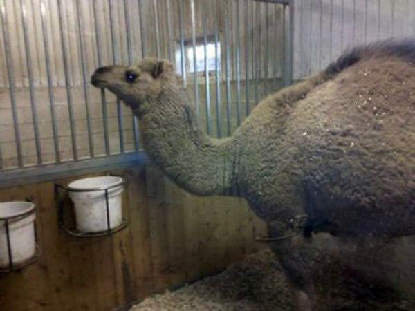 Dromedary Camel—$10,000