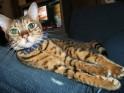 The Bengal Cat