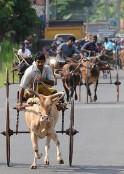 Bullock Cart Race in Sri Lanka