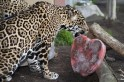 "Handout of five-year-old jaguar ""Nindiri"" licking a heart-shaped Valentine"