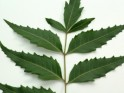Essential Oil: Neem:- Azadirachta Indical