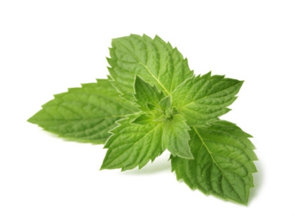 Essential Oil: Peppermint:- Mentha piperita