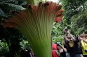 Stinky Flower Blooms in Washington