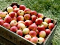 Food to Reduce Belly Fat # 9: Apples