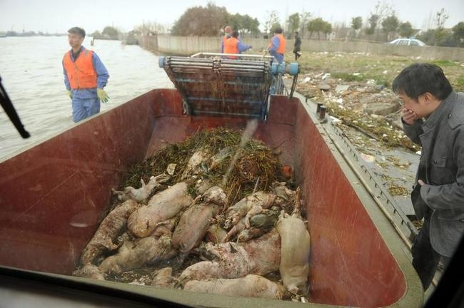 Thousands of Dead Pigs Found in Shanghai River