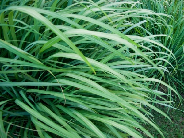 Home Remedies for Skin Care : 20 Herbs for Oily Skin Lemon Grass