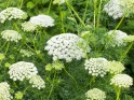Home Remedies for Skin Care: 20 Herbs for Oily Skin : Yarrow