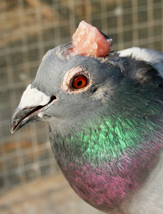 Remote-controlled Pigeons