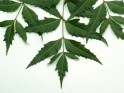 Herbs to Cleanse the Blood Neem