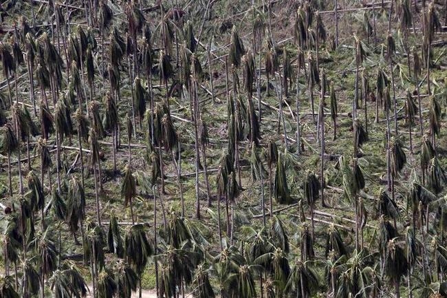 An aerial view of a coconut plantation after it was hit by super Typhoon Haiyan in Samar province in central Philippines