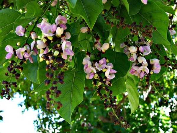 Herbs to Cleanse the Blood karanj